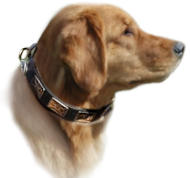 Golden Retriever dog collar