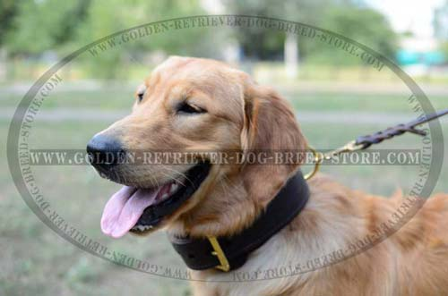 Golden Retriever Collar for Safe Walking