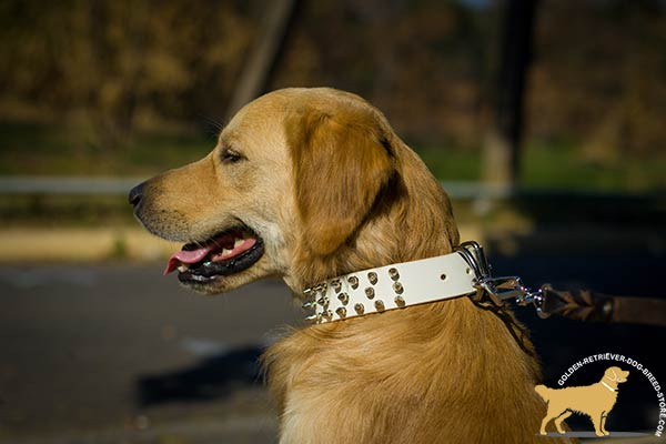 Golden Retriever white leather collar easy-to-adjust spiked for any activity
