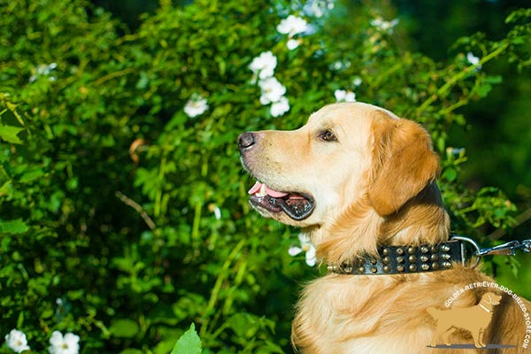 Golden-Retriever black leather collar with reliable hardware for improved control