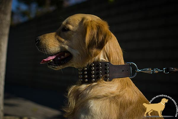 Golden Retriever brown leather collar extra wide decorated with studs for daily activity