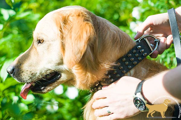 Golden-Retriever leather collar wide with handset half-balls and spikes for walking