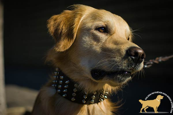Golden-Retriever leather collar with non-corrosive spikes for daily walks