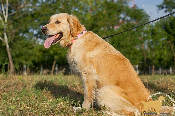 Golden Retriever leather collar of genuine materials adorned with plates for walking