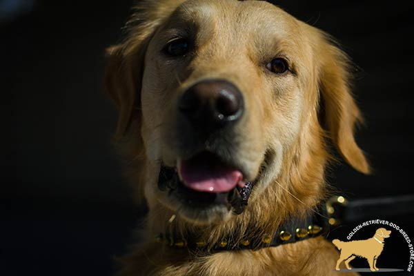 Golden Retriever black leather collar of genuine materials adorned with spikes for walking