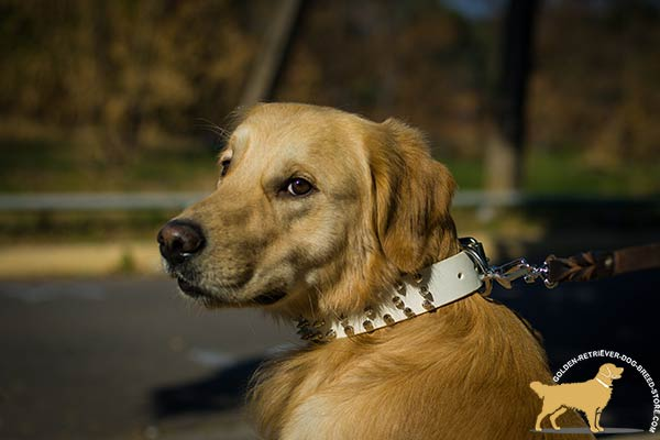 Golden Retriever white leather collar with rustless hardware for basic training