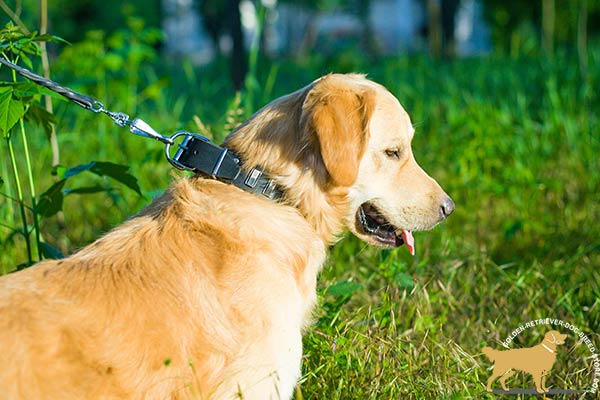 Golden Retriever black leather collar of classy design adorned with plates for daily activity