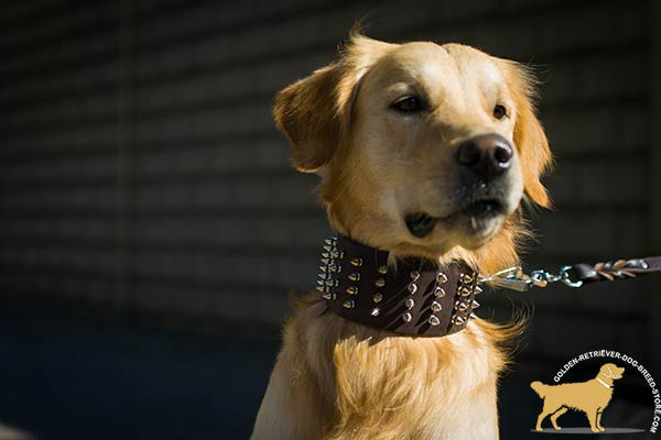 Spiked Leather Golden Retriever Collar of Extreme Width
