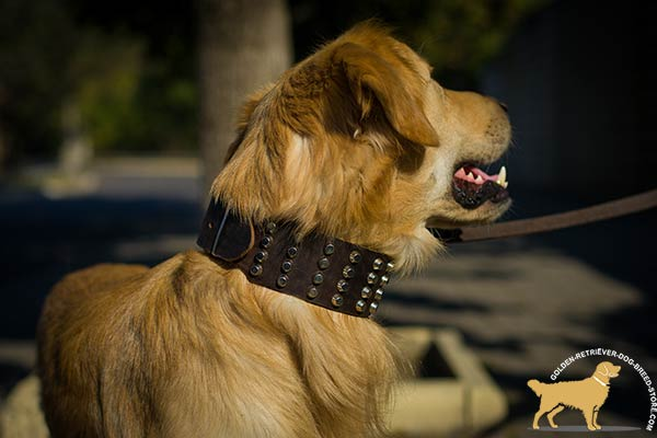 Super Wide Studded Leather Golden Retriever Collar