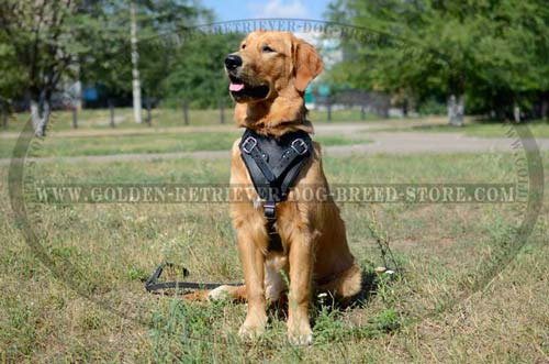 Walking Golden Retriever Harness