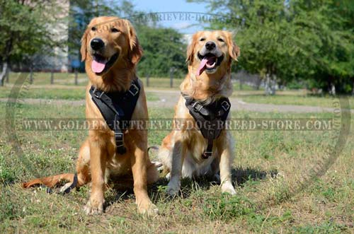 Leather Golden Retriever Harness for Walking in Public