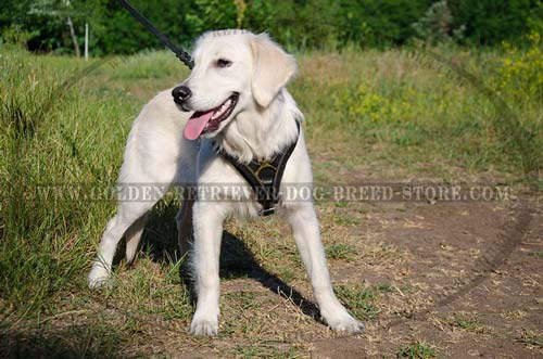 Leather Golden Retriever Harness for Walking
