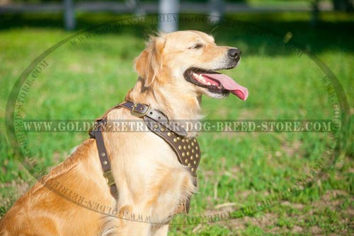 Leather Golden Retriever Harness Studded Design