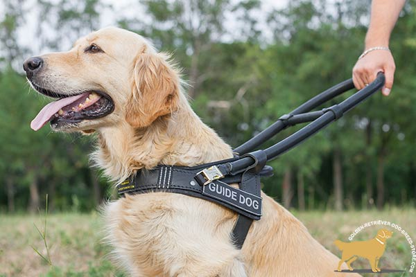 Golden Retriever leather harness with strong quick release buckle for walking