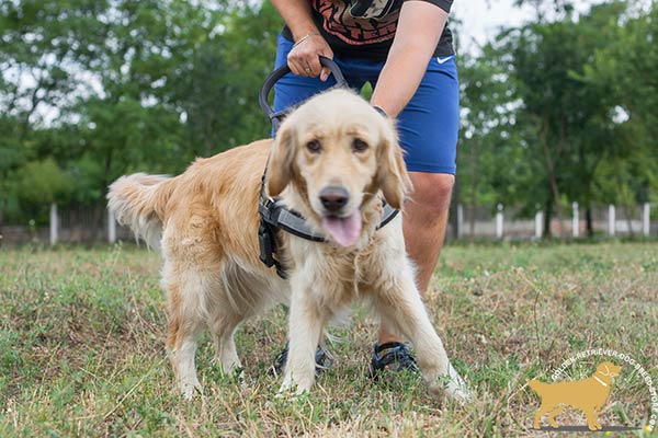 Golden Retriever nylon harness for snug fit with adjustable straps for utmost comfort