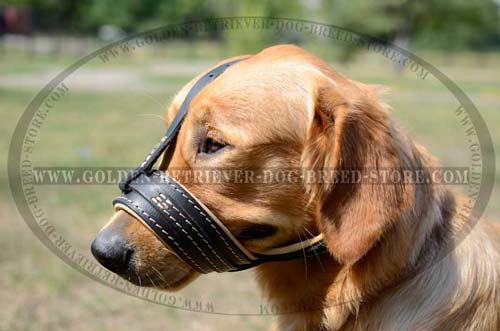 Golden Retriever Muzzle for Training