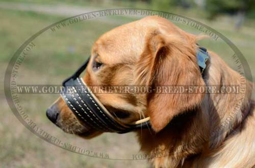 Golden Retriever Snout Shut Muzzle