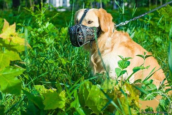 Golden-Retriever leather muzzle of high quality with riveted hardware for advanced training
