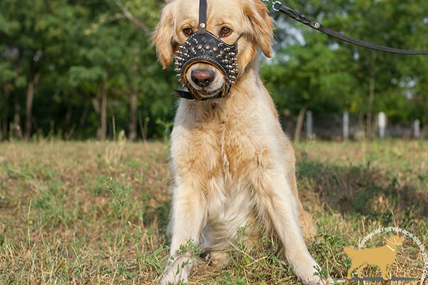 Golden-Retriever leather muzzle of genuine materials decorated with spikes for walking