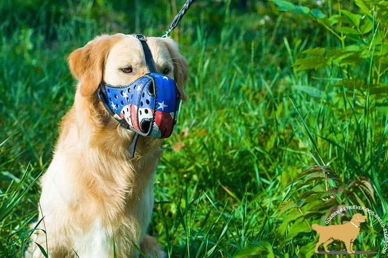 Golden-Retriever leather muzzle with rust-resistant hardware for  professional use