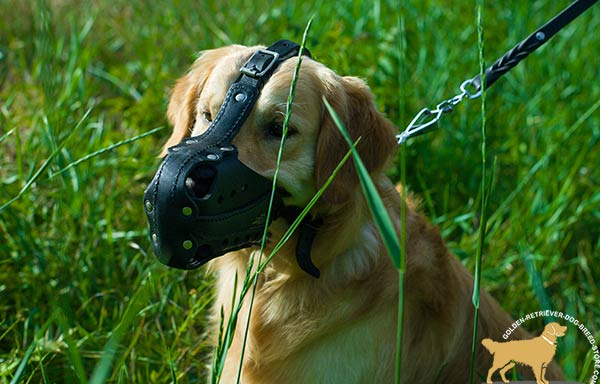 Golden-Retriever leather muzzle padded with nickel plated hardware for professional use