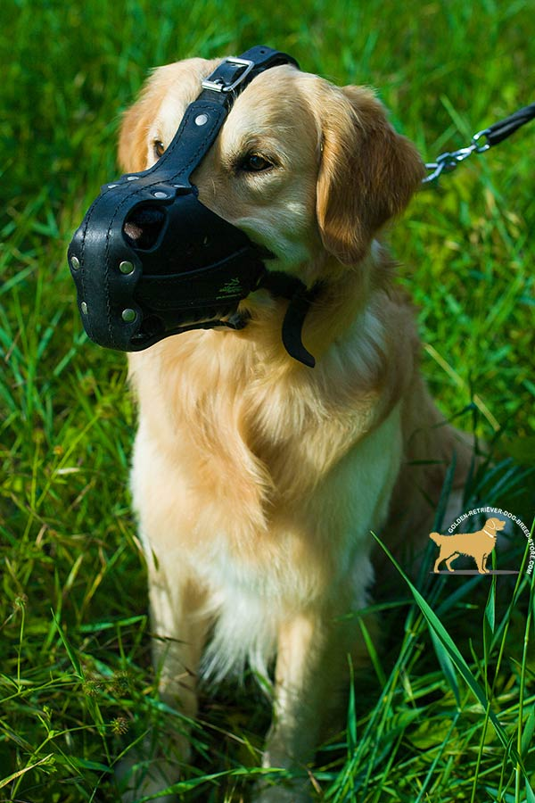 Golden-Retriever leather muzzle well ventilated padded with felt for basic training