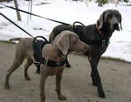 nylon dog harness for walking